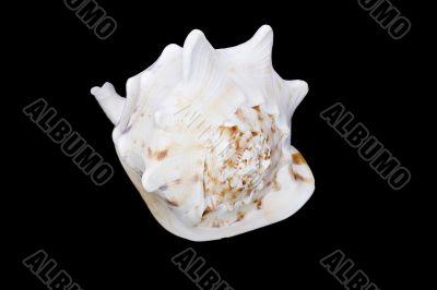 Beautiful shell on a black background