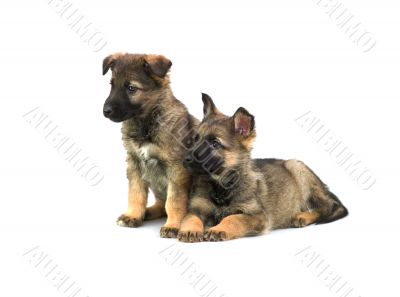two Germany sheep-dog puppies isolated on white background
