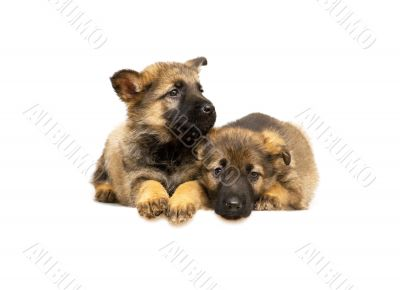 two laying Germany sheep-dog puppies isolated on white backgroun