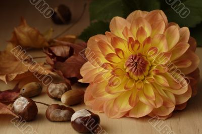 Dahlia and chestnuts