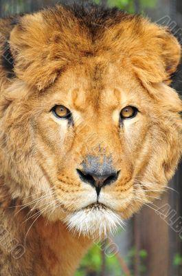 Old Lion head portrait