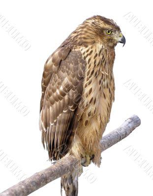 The bird of prey