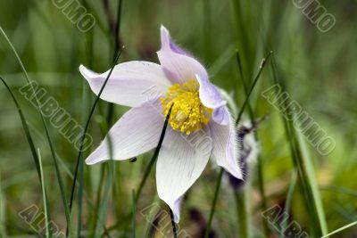 Spring flowers of Pulsatilla