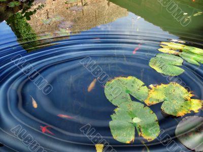 Goldfish and big ripples