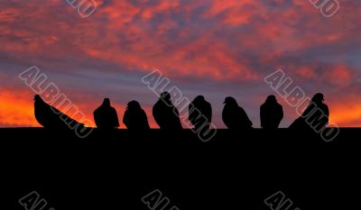 eight pigeons