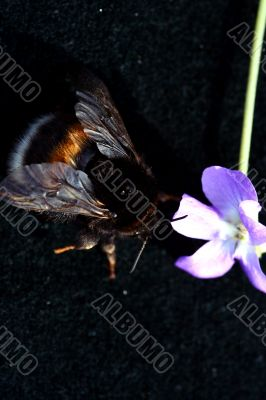 Bumblebee isolated in white