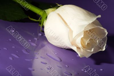 white rose on lilac