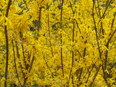 Yellow blooming bushes of forsythia.