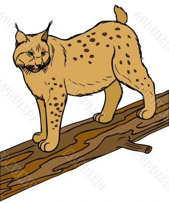 Illustartion of lynx