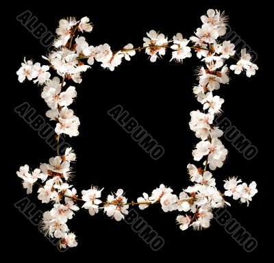 Floral frame from cherry blossom branches isolated on black