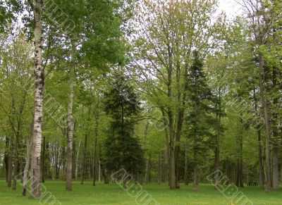 GREEN TREES IN A FOREST