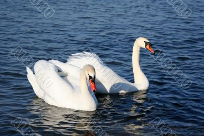 Graceful couple of white swans on a water of lake
