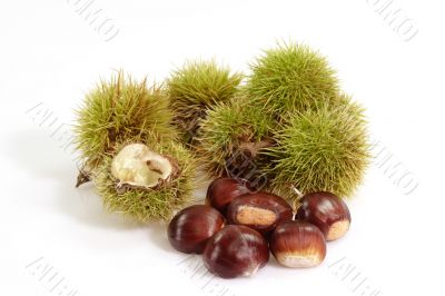 Ripe Sweet Chestnuts