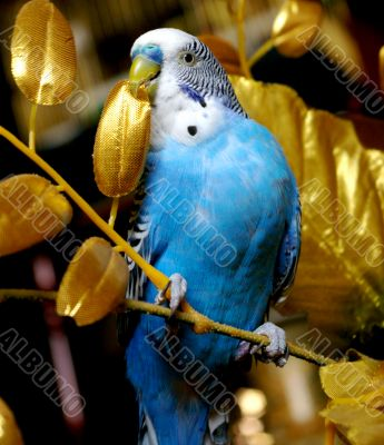 The Parrot in golden branch.
