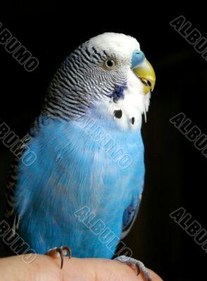 The Blue wavy parrot.