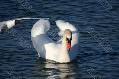 Graceful white swan on a water of lake