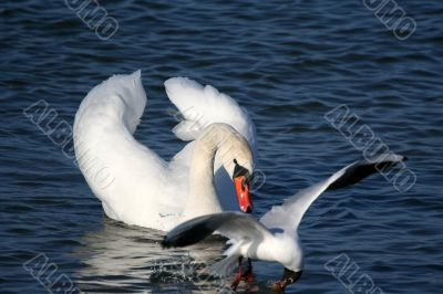 Graceful white swan on a water of lake and seagull