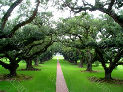 Quarter-mile canopy of giant live oak trees