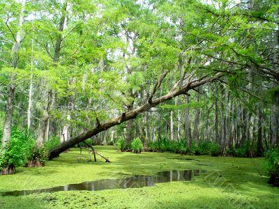 Louisiana Bayou Swamp