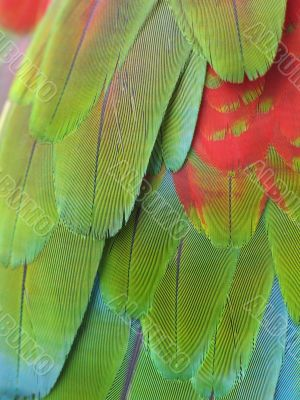 parrot feather close-up