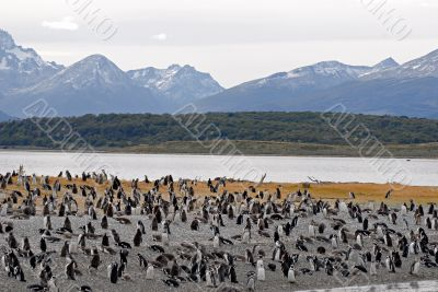 Many penguins near Ushuaia.
