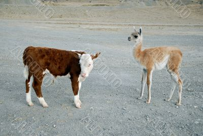 Baby`s guanaco and calf bull