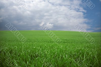 Green wheat in spring