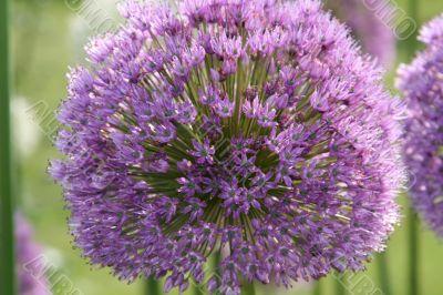 Persian Violet Allium Flower