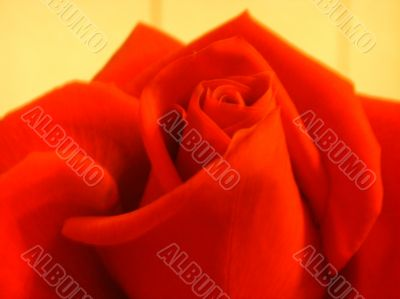 Bright rose of red color - soft focus