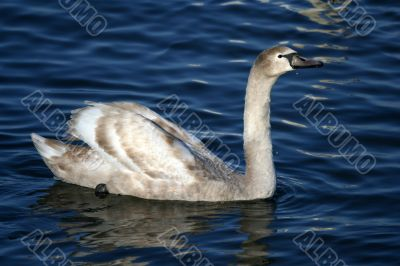 Graceful gray swan on a water of lake