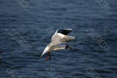seagull is in flight and blue water