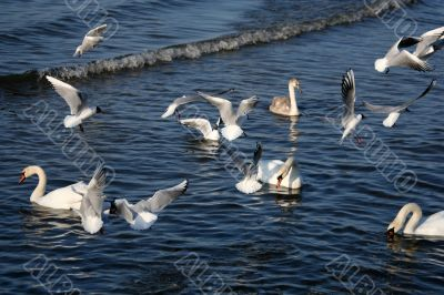 lot of seagull and swans in the water of gulf