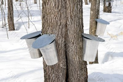 Metal pails for collecting maple sap