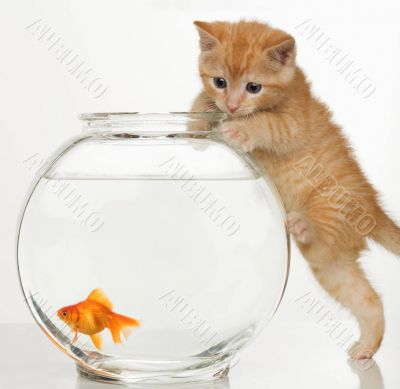 A kitten and a gold-fish
