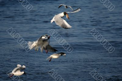 lot of white beautiful seagulls above water fighting