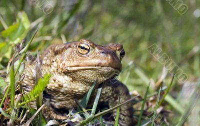 Toad close up