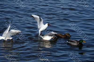seagulls are eating and fighting in water