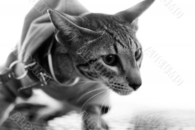 Cat pedigree oriental with breast band, monochrome