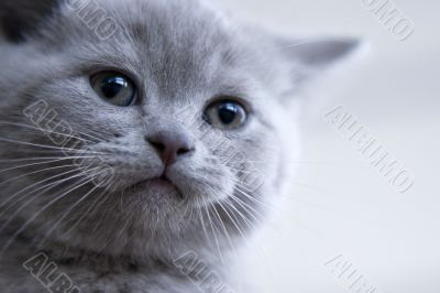 British little blue kitten