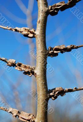 elm tree (Ulmus minor)