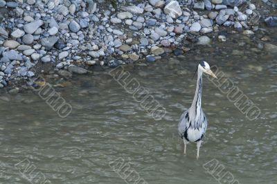 Great gray heron