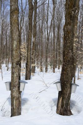 Forest in springtime during maple syrup season