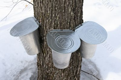 Pails on a maple tree for collecting sap