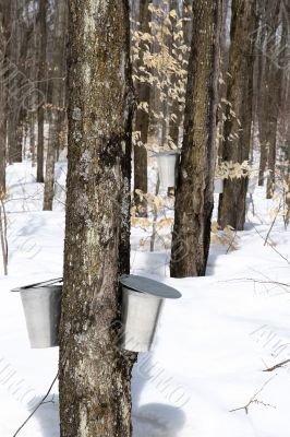 Spring forest during maple syrup season