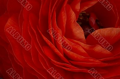 Red Flover