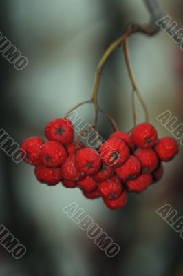 cluster of rowanberry