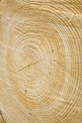 Golden timber tree rings