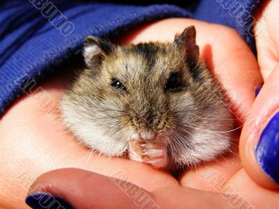 Little  hamster in the arms