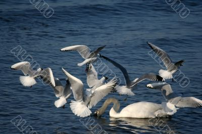 white swans and flying seagull above water