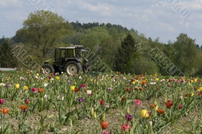 Tractor in the field of tulips.